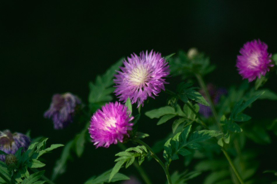 Carl Zeiss Jena Tessar 4,5/300 example photos flowers