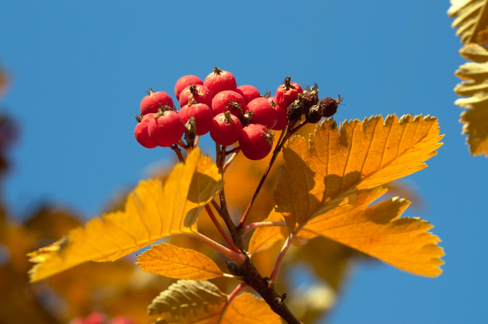 Nikon Micro-Nikkor 55mm f/2.8 example photos viburnum